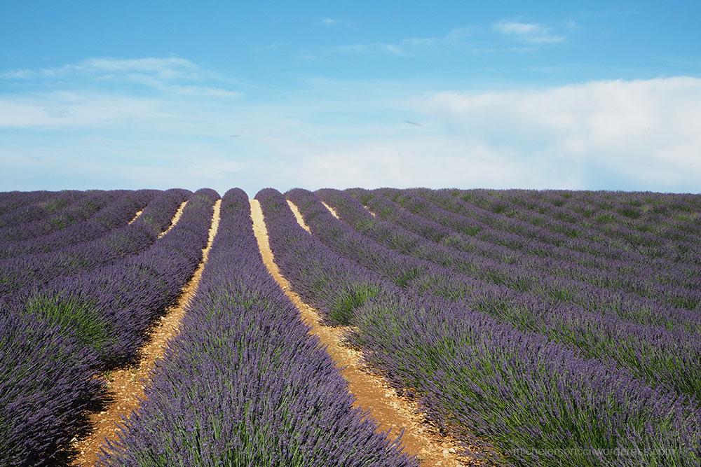 MMoricci-LavenderField-2019-1